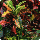 Croton leaves – Jolap, Gaua, Banks